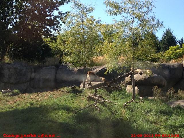 Washington Park Zoo - Lion