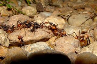 https://bio-orbis.blogspot.com.br/2014/01/formigas-correicao-andam-em-circulos.html