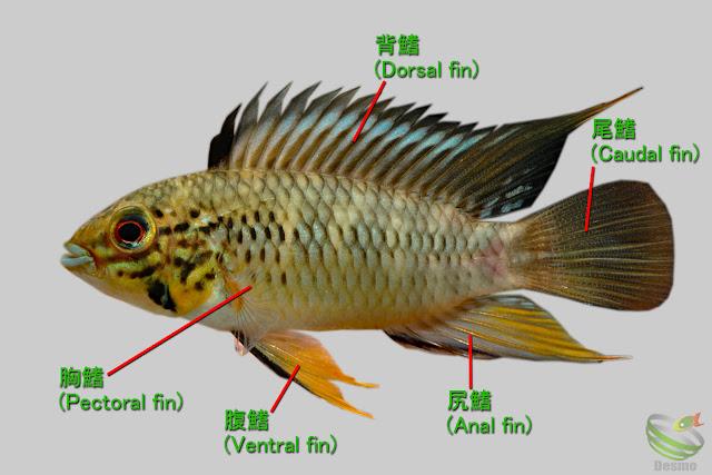 アピストグラマ 鰭の名前
