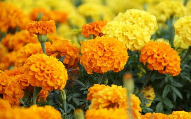 harga bibit tanaman hias bunga