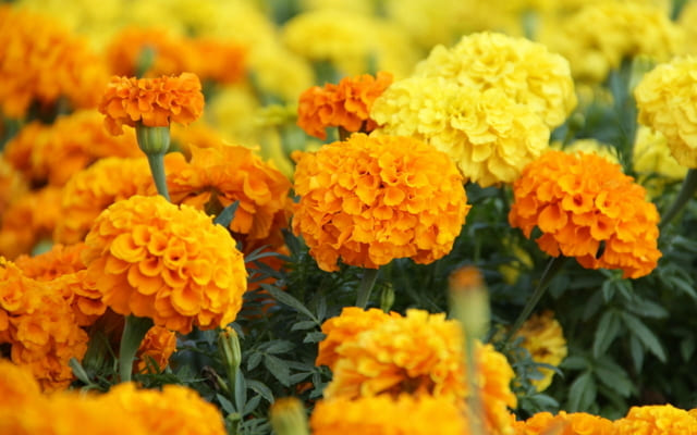tanaman hias bunga yellow marigold