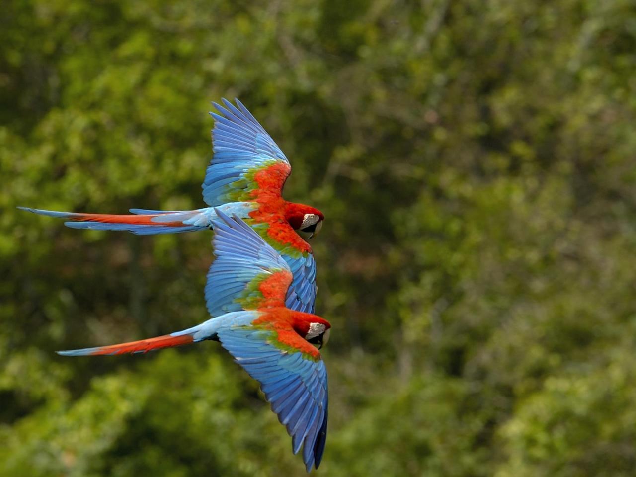 Wallpaper Gallery Love Bird Wallpaper: Wildlife Of The World: Beautiful Parrot Wallpapers 2012