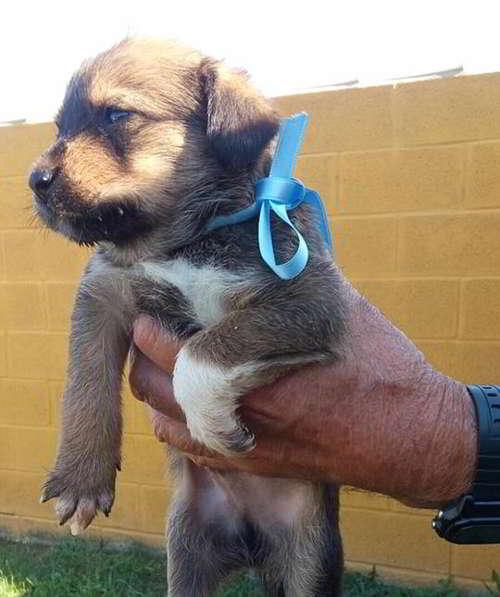 cachorros cruce perro de aguas 2