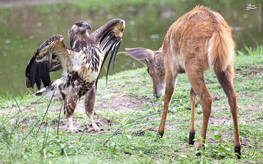 Wildlife Eagle vs Deer