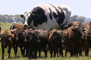 Αγελάδα γίγαντας κόβει βόλτες μαζί με το υπόλοιπο κοπάδι και ξεχωρίζει