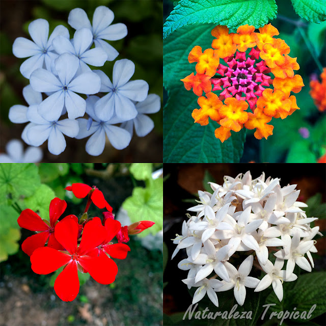 Plantas con floraciones abundantes durante todo el año y muy fáciles de cultivar