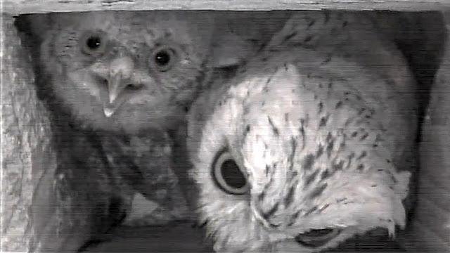 "Screech Owl Babies Update -  The ""Only Owlet"""