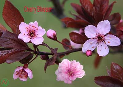 cherry blossom flower, cherry blossom