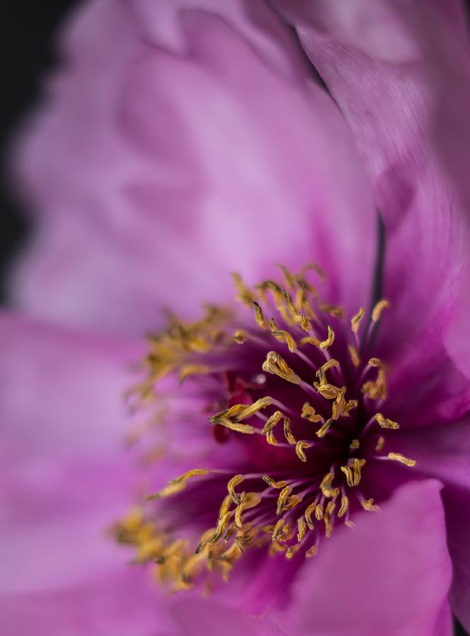 Blog + Fotografie by it's me! | fim.works | Bunt ist die Welt | Blumen | Samenfäden und Stempel einer rosa-fliederfarbenen Bauernpfingstrose