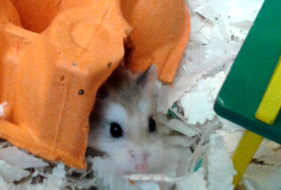 Agouti Roborovski hamster