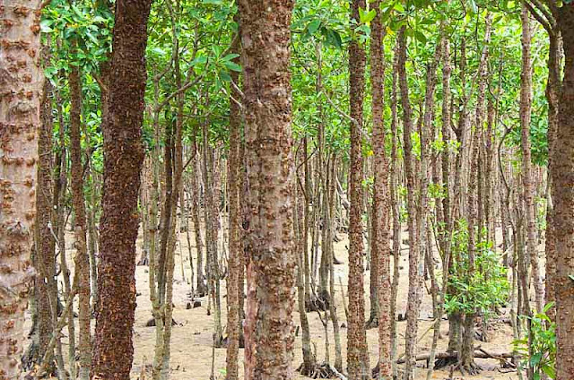trees, mangroves forest, low tide