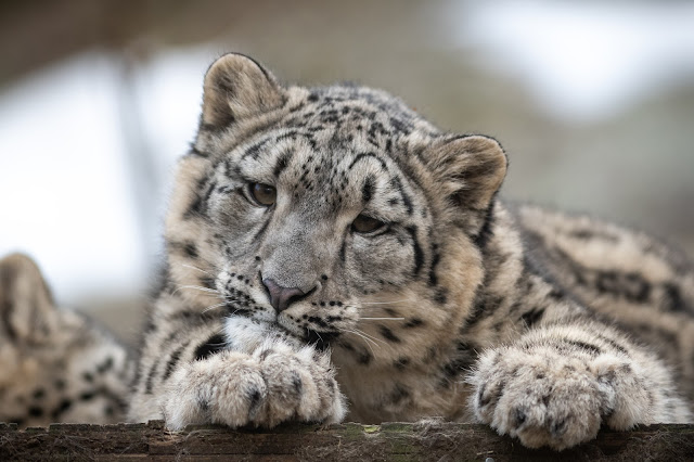 Snow Leopard Cub Looking Curious by Eric Kilby from flickr (CC-SA)