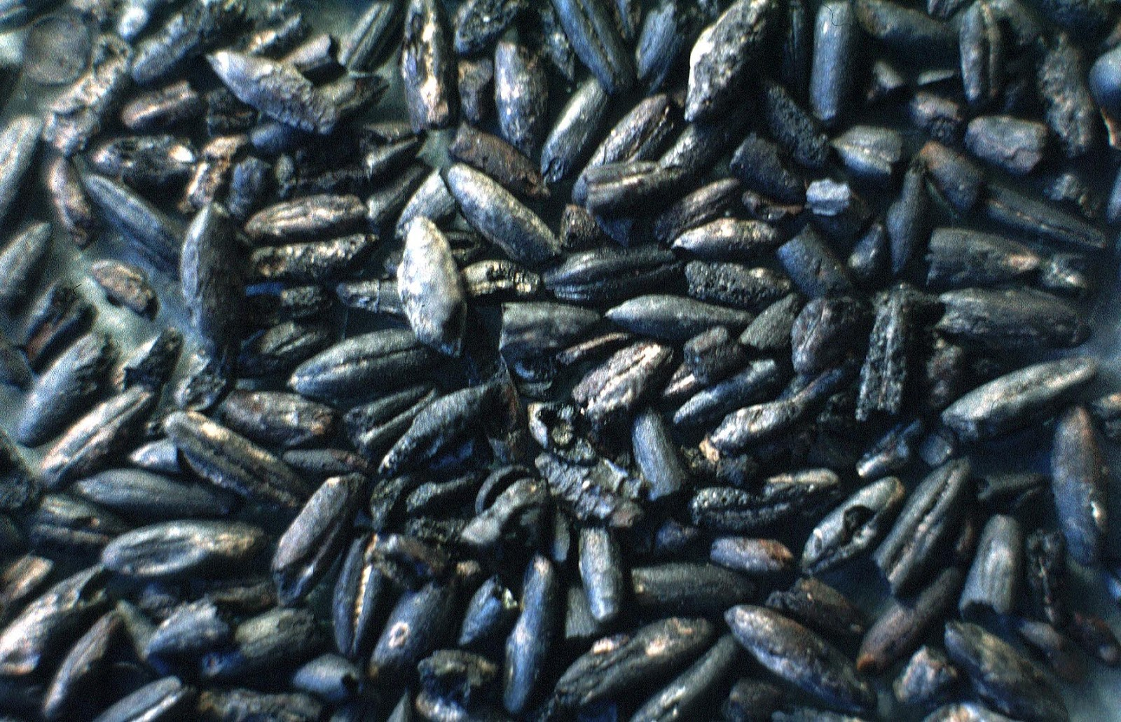 small resolution of charred oat grains