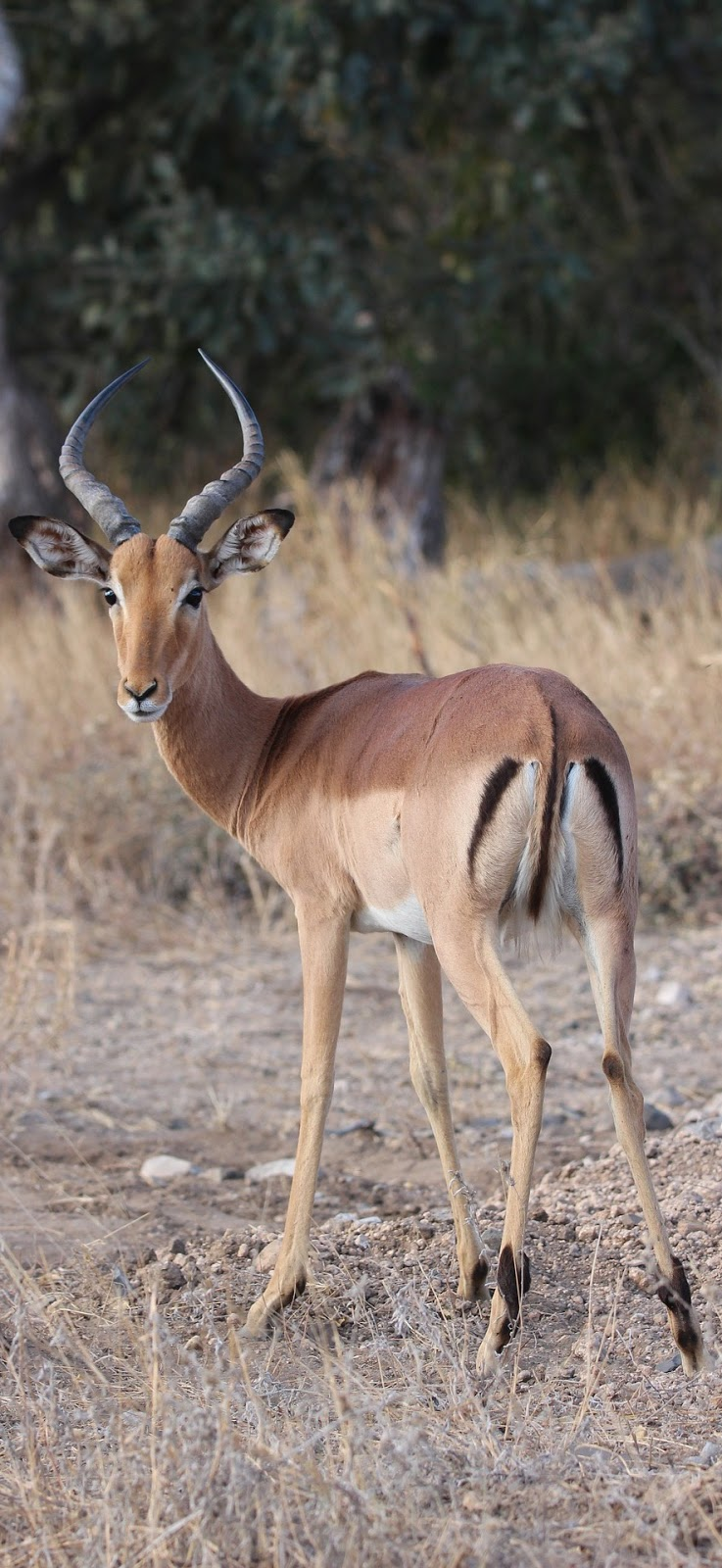 A curious impala.