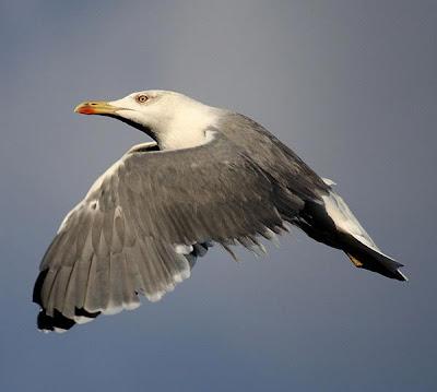 Larus michahellis en vuelo