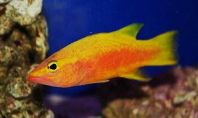 Ikan hias Golden Basslet