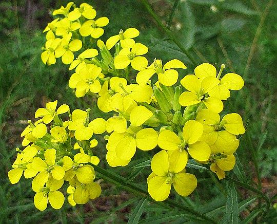 Pszonak Wahlenberga (Erysium wahlenbergii).