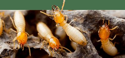 شركات مكافحة الحشرات بالمنطقة الشرقية