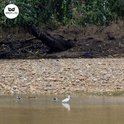 Garceta grande (Egretta garzetta) en la orilla del Ebro.