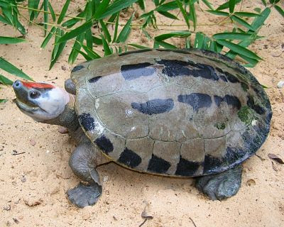 endangered asiatic terrapin