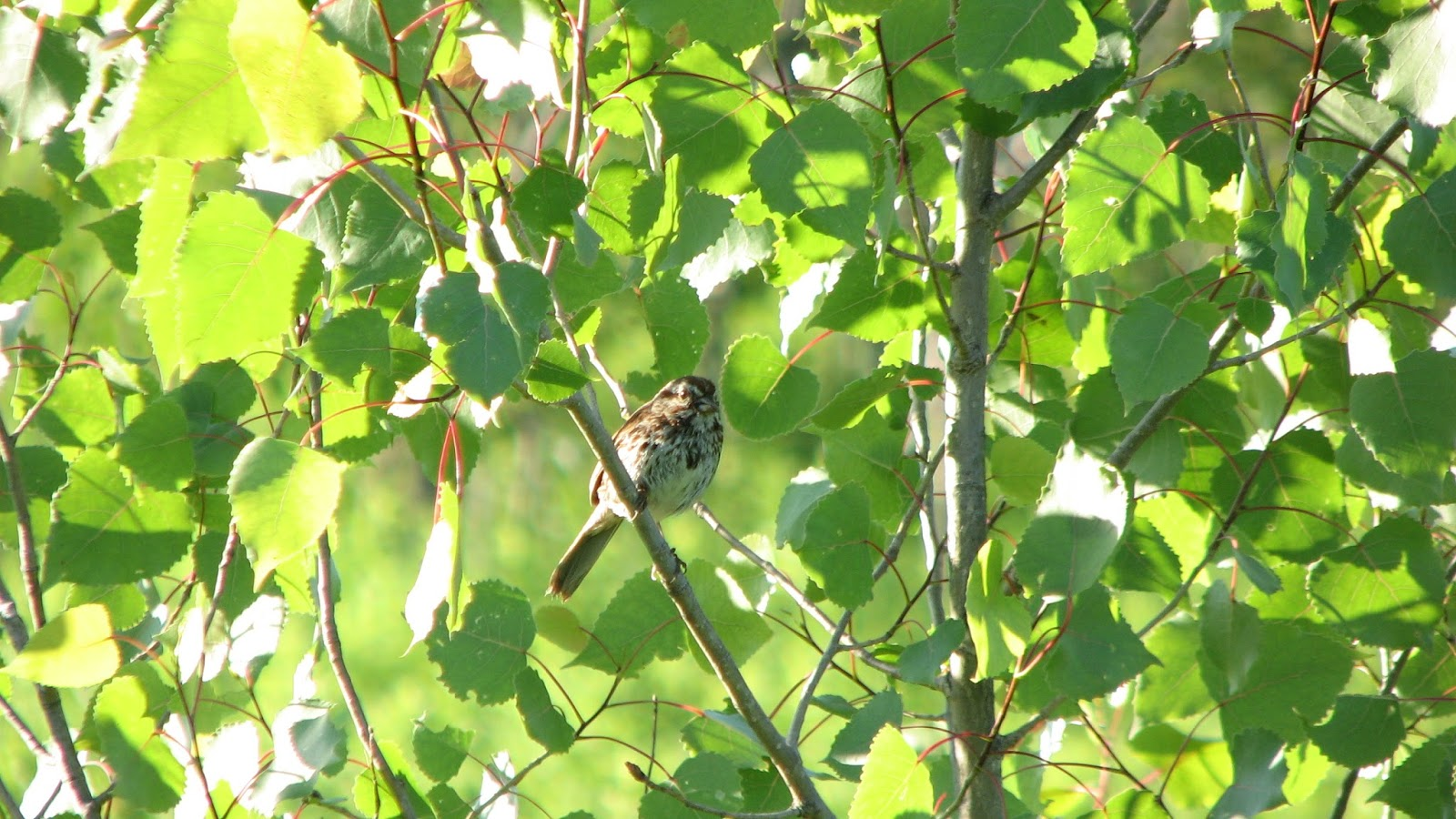 American Goldfinch Nature S Song