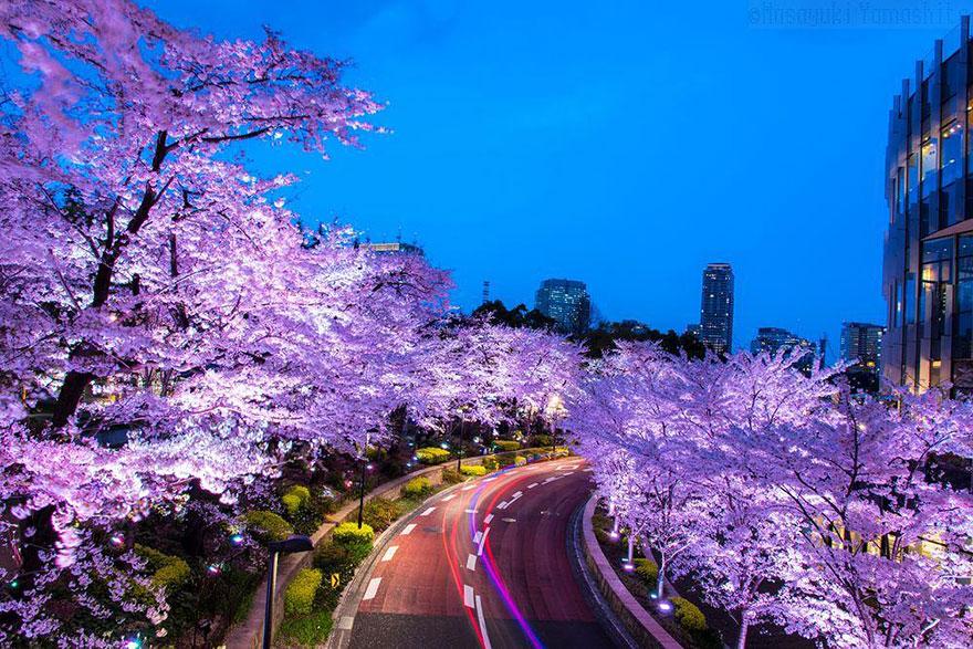 Pink sakura and pink line