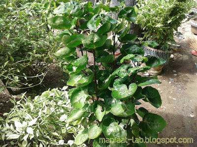 Bunga mangkuk mangkuan
