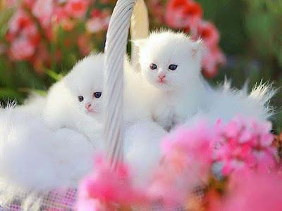 lovely-new-born-white-cat-kitten-pics
