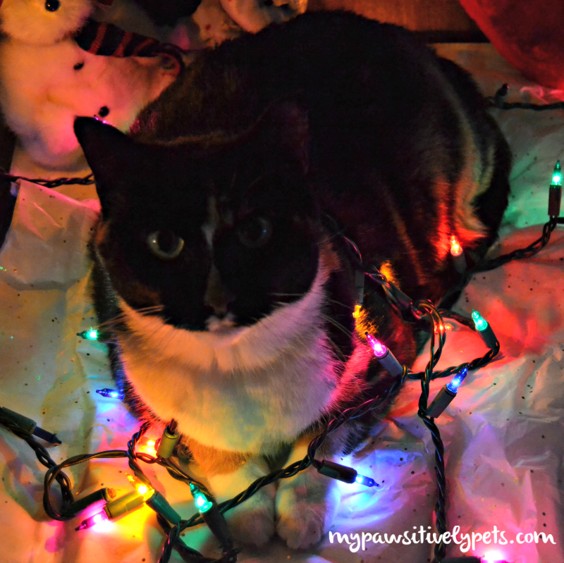 Decorating For Christmas With The Cat Pawsitively Pets