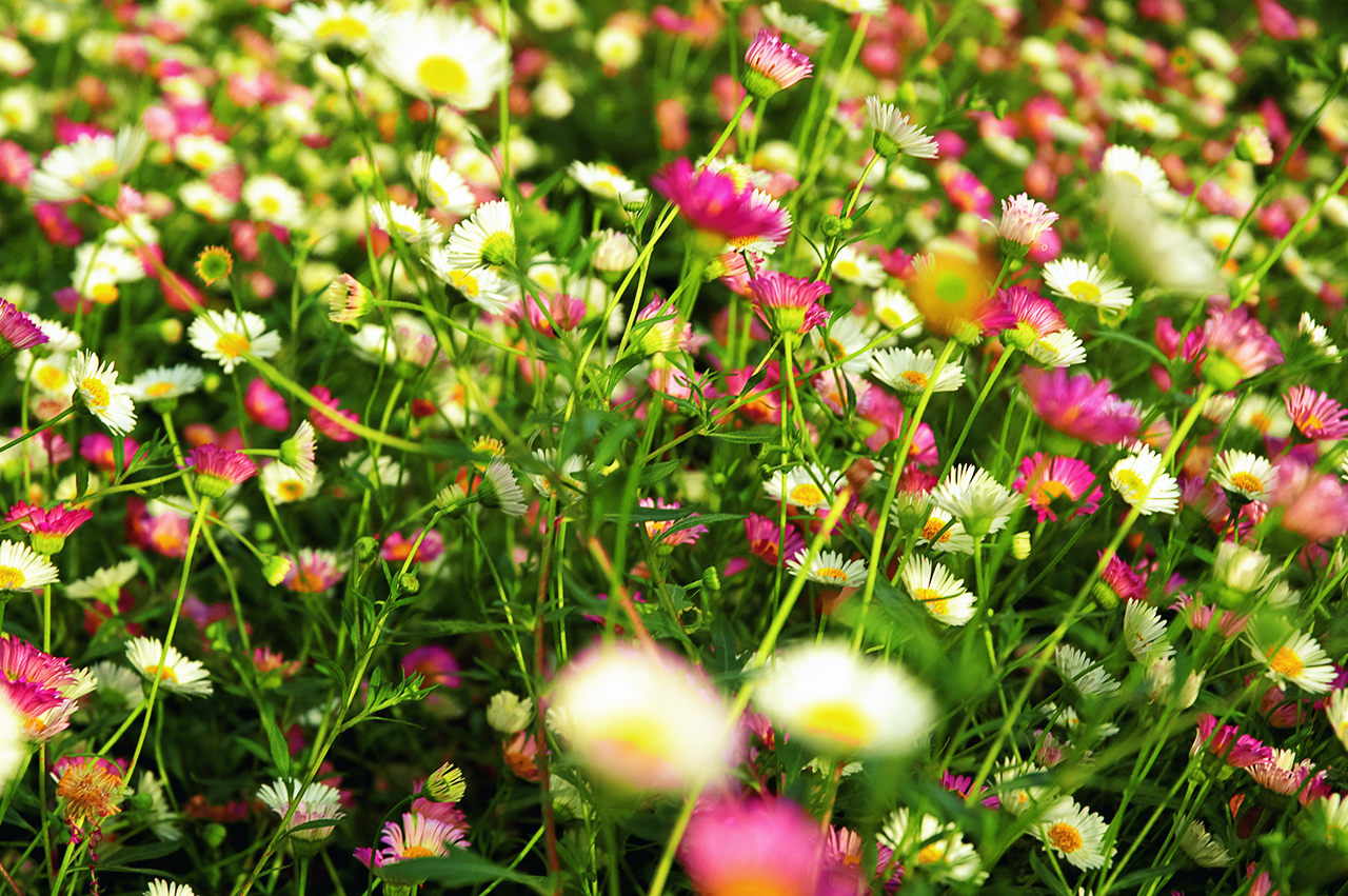 Field of multi color daisies