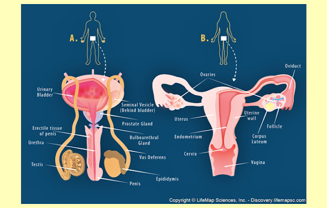 Kelenjar Reproduksi Pria, Kelenjar Reproduksi Wanita