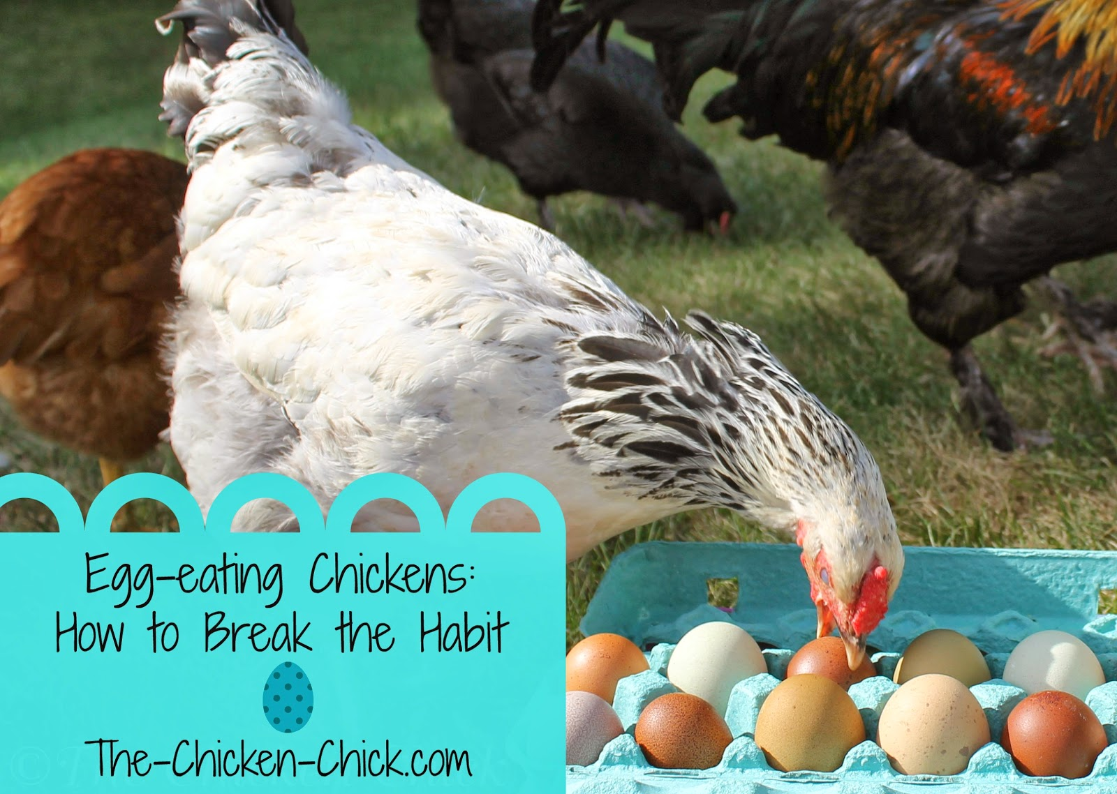 Cracked eggs are an enticement to bored chickens and egg-eating is a tough habit to break.
