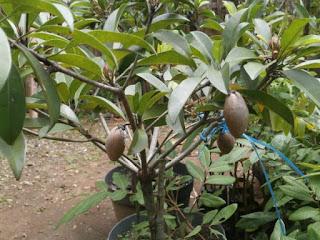 Beberapa hal yang akan dilakukan untuk  Cara Perawatan Pohon Sawo