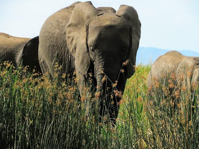 Elephant on the Kazinga Channel in Uganda