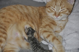 Susu untuk Anak Kucing Baru Lahir