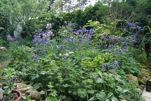 Akelei und Allium blühen im Mai