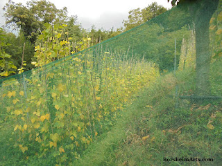 Sorana beans netted for protection against animals Valleriana hills of Tuscany