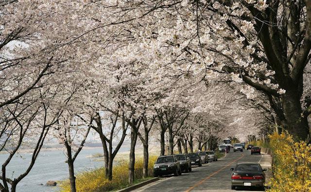Lễ hội hoa anh đào bên sông Seomjin
