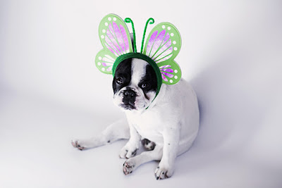 A small white and black short coat dog is wearing green and purple butterfly wings on its head