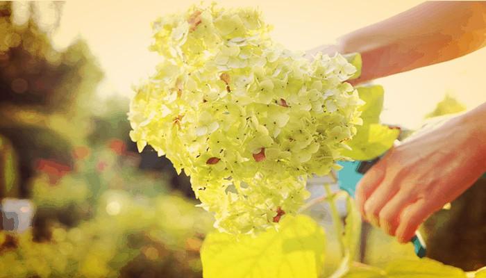 Como podar las hortensias