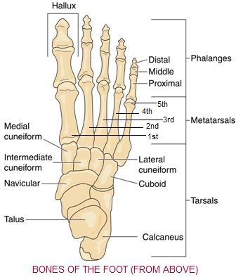 Ever Wonder Why People Seem To Commonly Get Broken Bones In The Foot