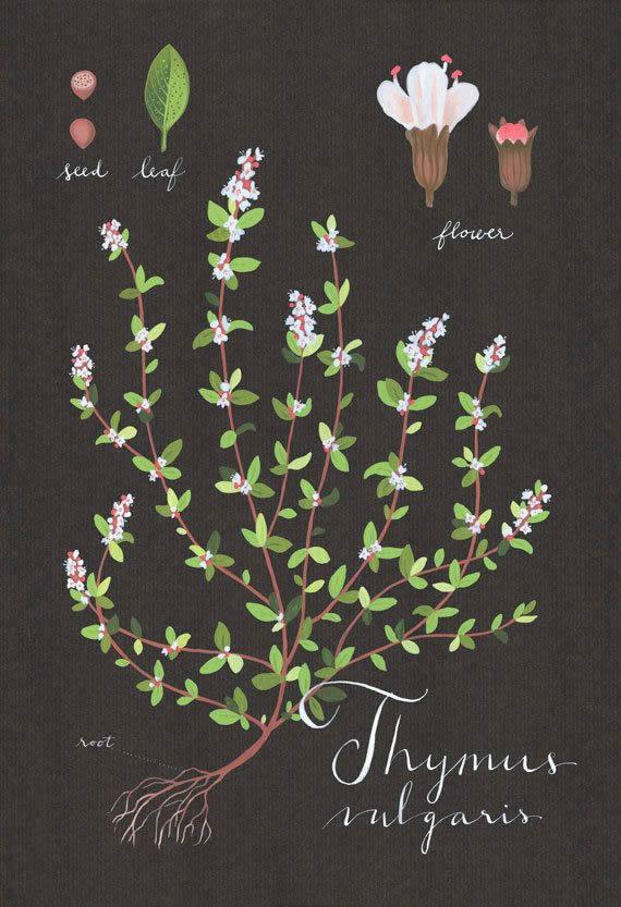 Thyme print