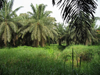This image shows a high-yield palm oil farm in Ghana. (Credit: Ben Phalan) Click to Enlarge.