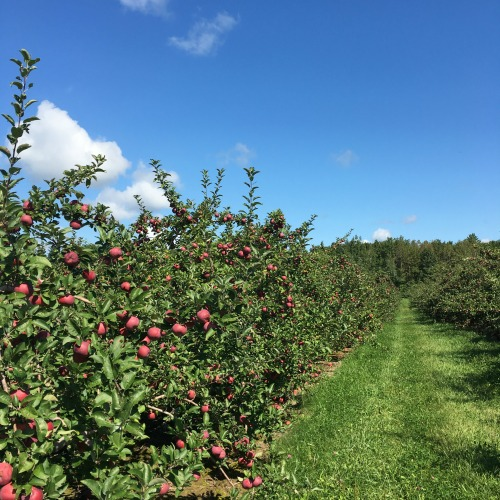 Apple picking outside Boston