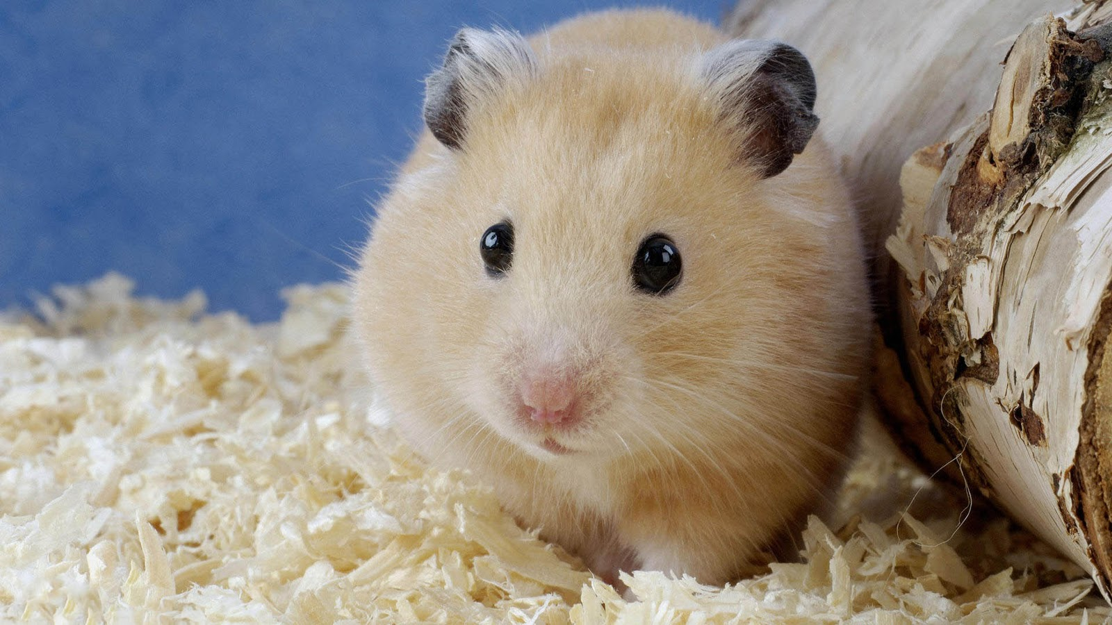 Sweet Cute Wallpapers Hamster Achtergronden Hd Wallpapers
