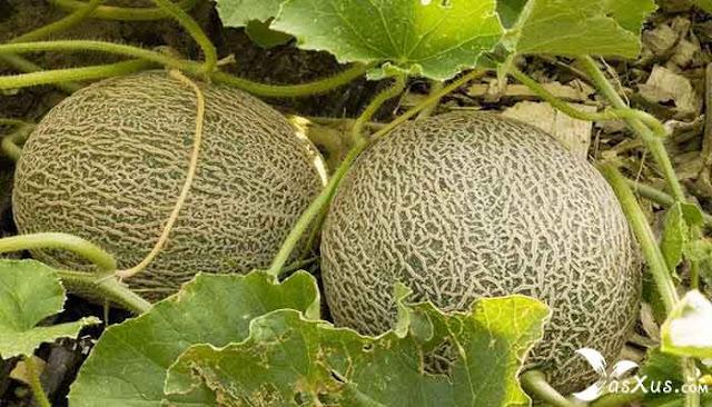 26 Cara Menanam Melon Yang Baik dan Benar Agar Berbuah Banyak