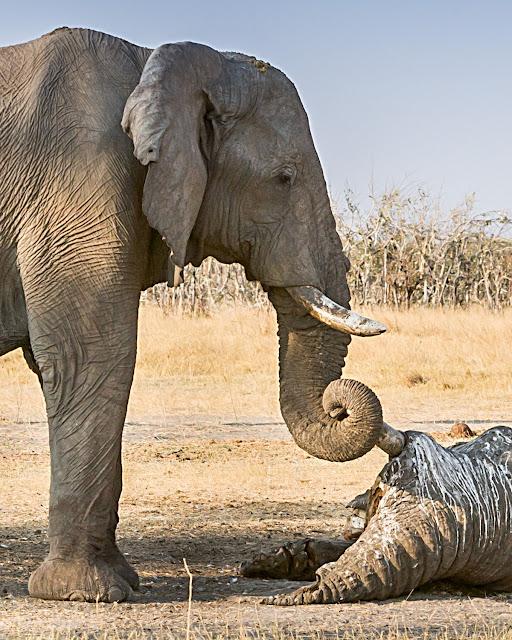 Elefant sørger over sin døde fælle