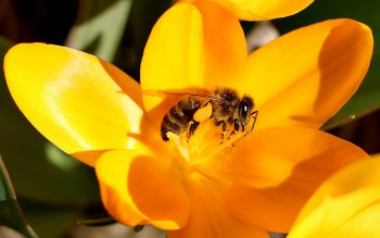 Wallpaper: Bee collects the pollen