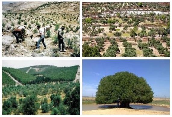 Pohon Gharqad di Israel