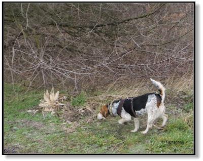 ein Beagle sucht